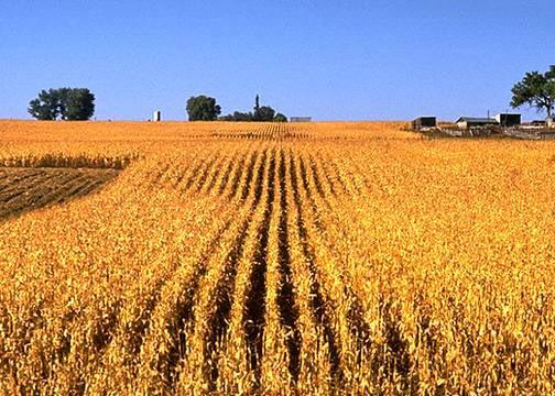 http://www.carrollcountyag.com/wp-content/uploads/2008/09/corn-harvest.jpg